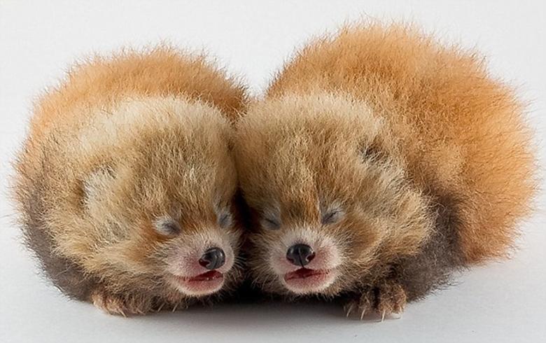 SUPER CUTE BABY RED PANDAS