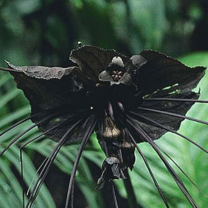 10a. Bat Flower (Tacca Chantrieri)