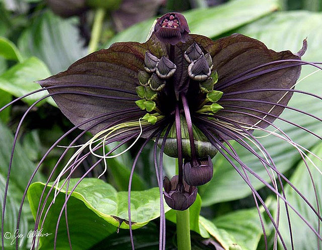 10b. Bat Flower (Tacca Chantrieri)2