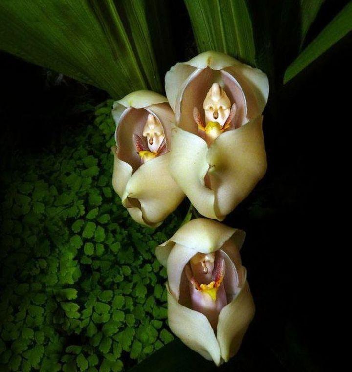 12. Swaddled Babies (Anguloa Uniflora)1