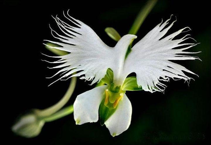 22a. White Egret Orchid (Habenaria Radiata)1