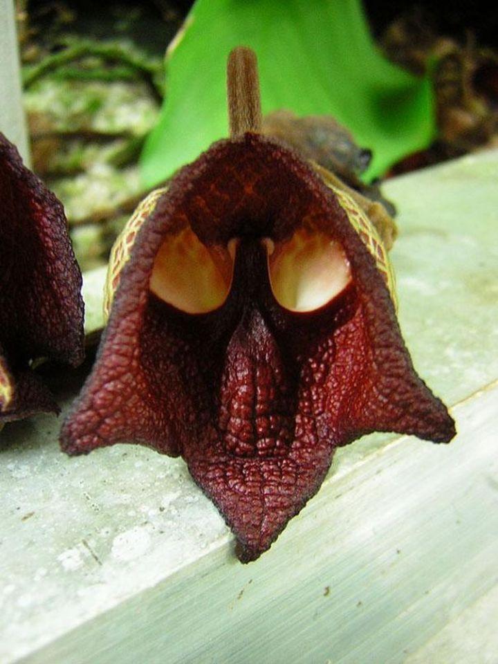 4a. Darth Vader (Aristolochia Salvadorensis)1