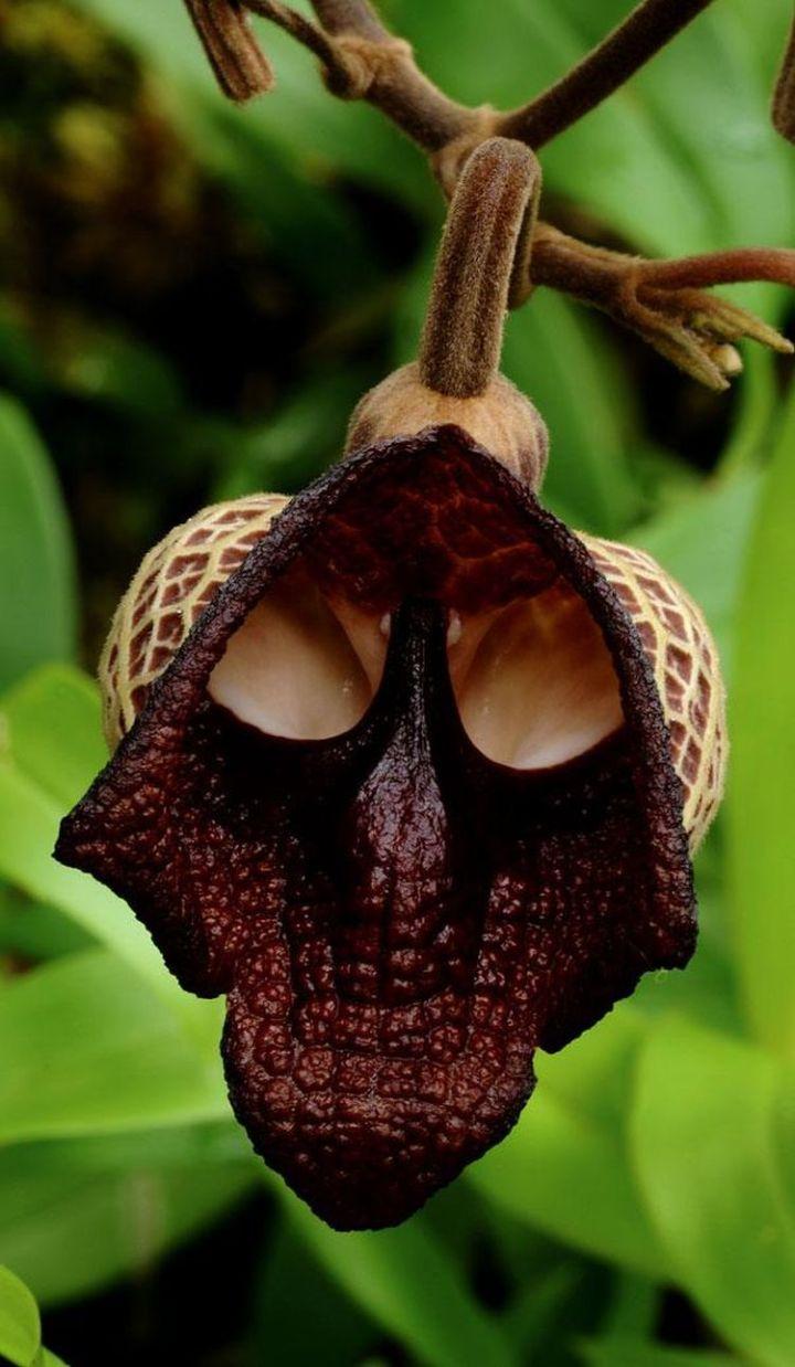 4c. Darth Vader (Aristolochia Salvadorensis)3