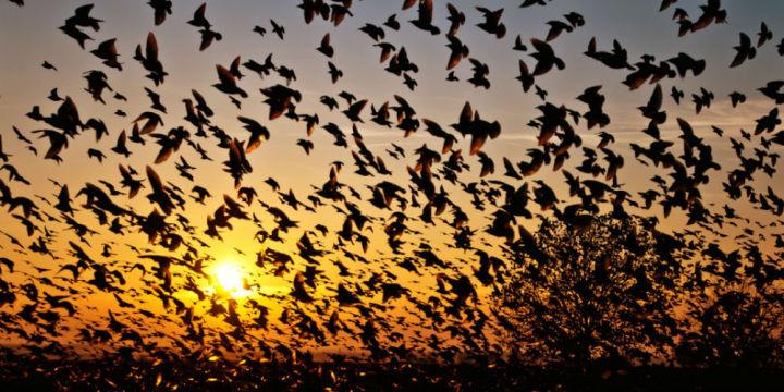 2. Mass Bird Suicide - Jatinga, Assam2